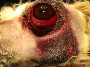 www.doctor-vet.ro proptoza traumatica a globului ocular la caine, urgenta majora
