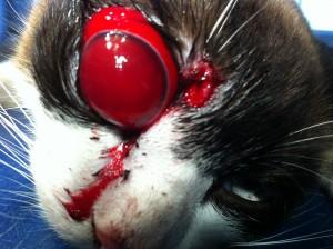Pisica cu protruzie a globului ocular in urma unei muscaturi de caine (www.doctor-vet.ro)