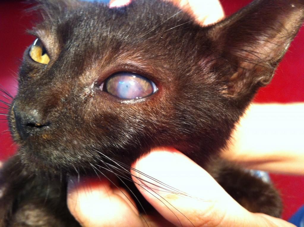 herpes virus pisica, ulcer corneean. www.doctor-vet.ro