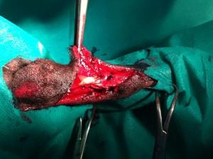 Tenorafie tendon Ahile caine. Tendon sectionat in urma agresiunii din partea omului. www.doctor-vet.ro