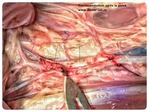 Tromboembolism aortic. www.doctor-vet.ro