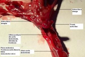 www.doctor-vet.ro Tromboembolism aortic felin