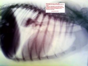 Radiografie torace caine. Corp strain retinut in esofag. www.doctor-vet.ro