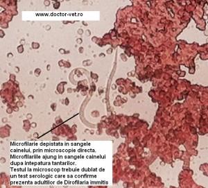 Microfilaria vazuta la microscop. www.doctor-vet.ro