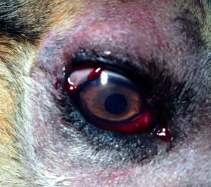 Rezultatul operatiei de prolaps traumatic de pleoapa a treia la caine. www.doctor-vet.ro