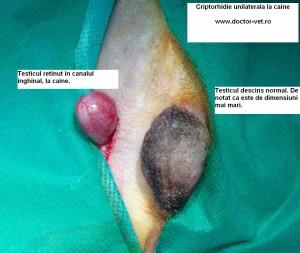 Criptorhidie unilaterala la caine. www.doctor-vet.ro
