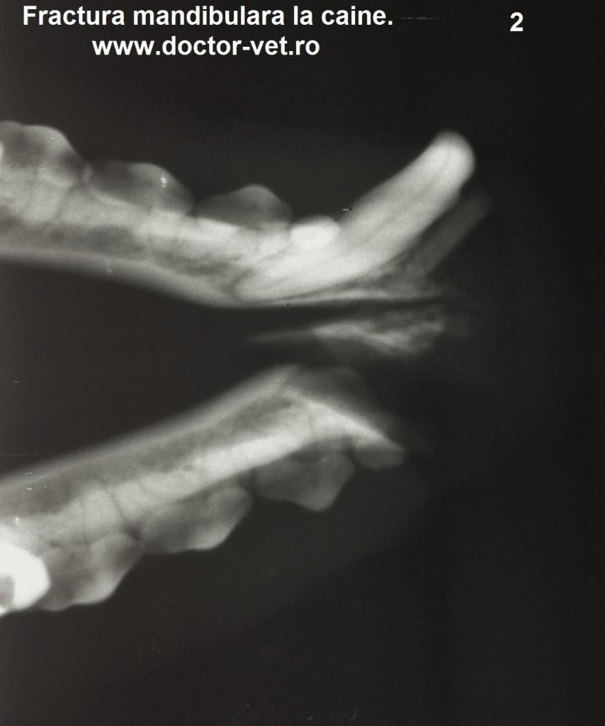 Radiografie fractura mandibula caine. www.doctor-vet.ro