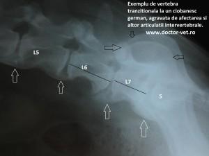 www.doctor-vet.ro. Vertebra tranzitionala lombosacrata la caine