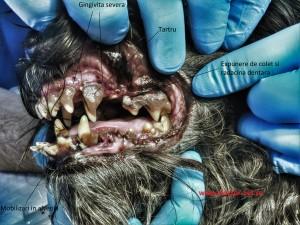 Parodontopatie la caine. www.doctor-vet.ro