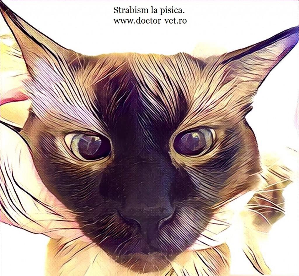 strabism la pisica. www.doctor-vet.ro