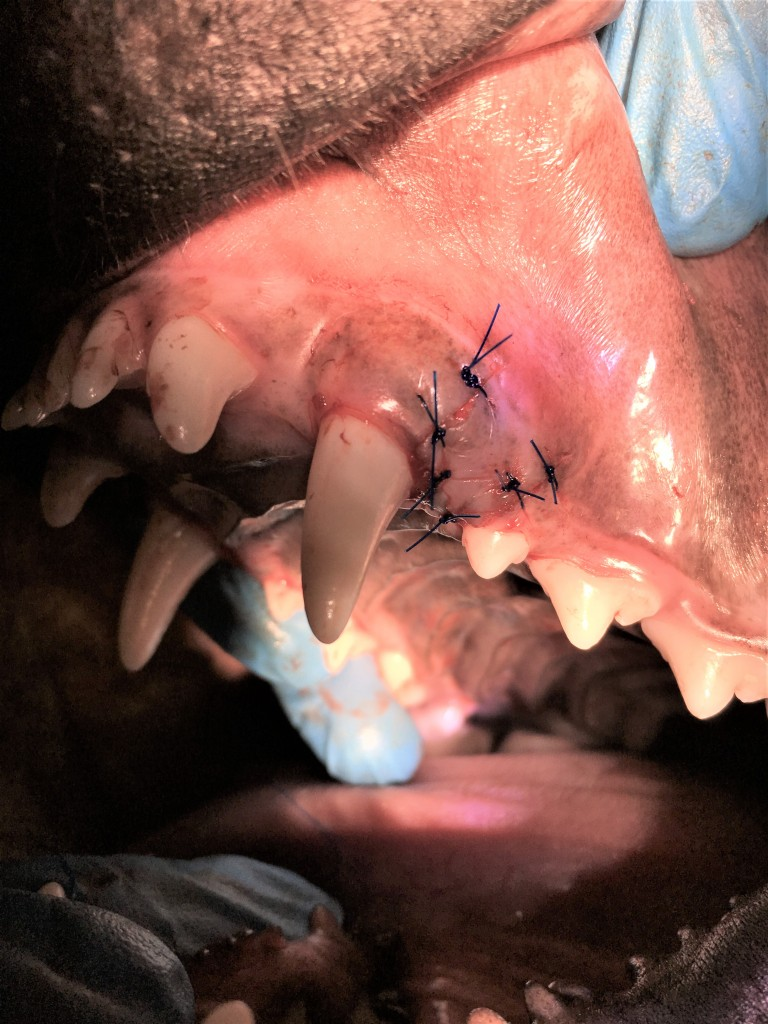 www.doctor-vet.ro Sutura flap gingival